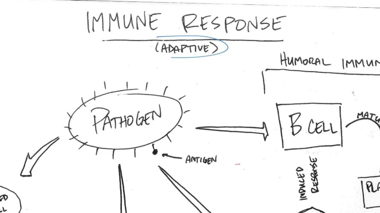 Immune System Diagram.Specific Immune Response