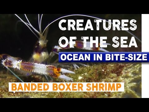 Creatures of the Sea - Spiky Boxer Shrimp
