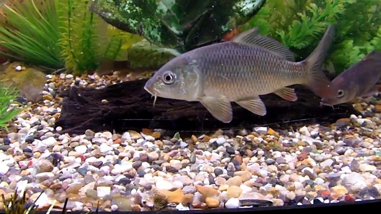 Carp tench rudd and grass carp in juwel 260 aquarium for Koi carp aquarium