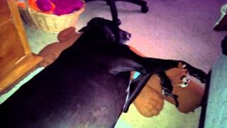 Kentucky my greyhound running in his sleep