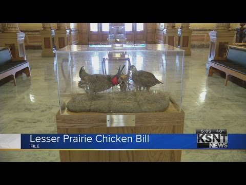 US Senate rejects amendment on lesser prairie chicken