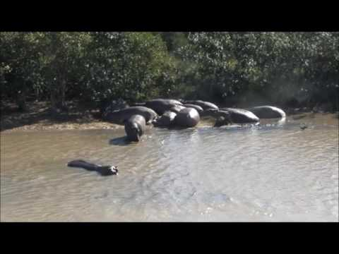 Hippo's with baby / Fish Eagle / Buffalo on boattrip St Lucia South Africa