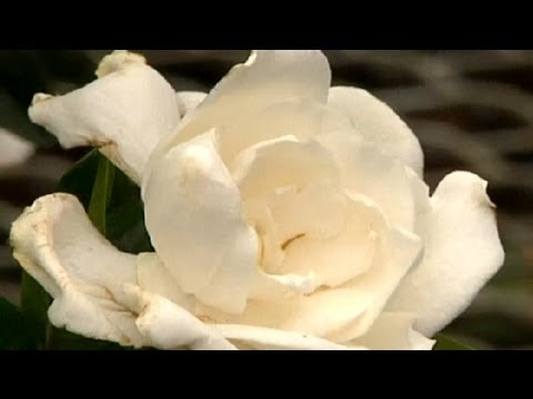 How to care for gardenias indoors gardening tips youtube how to care for gardenias indoors gardening tips mightylinksfo