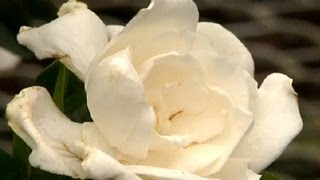 How to Care for Gardenias Indoors : Gardening Tips