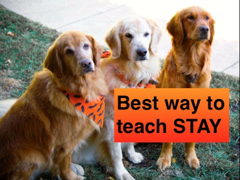 how to teach your dog to stay