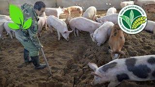 Các giải pháp ứng phó với dịch tả lợn Châu Phi hữu hiệu, kịp thời   VTC16