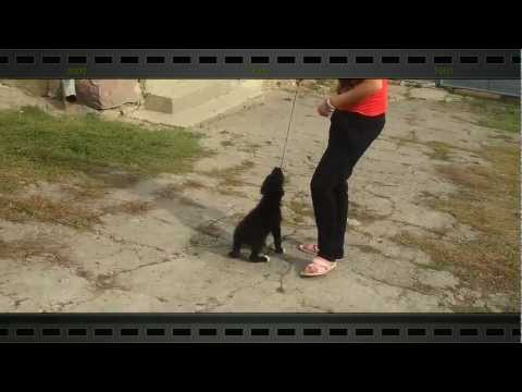 Funny dog playing (Suflet pereche - Akcent)