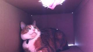 (Box) Ceiling Cat attacks