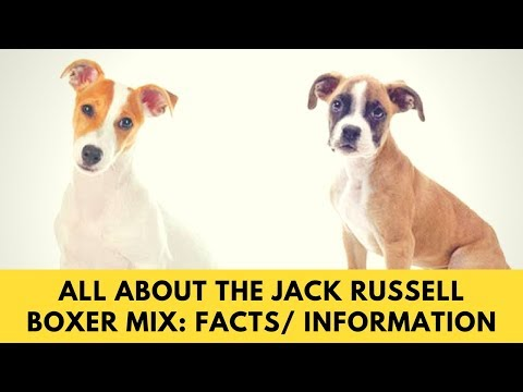 All About The Jack Russell Boxer Mix: Facts/ Information