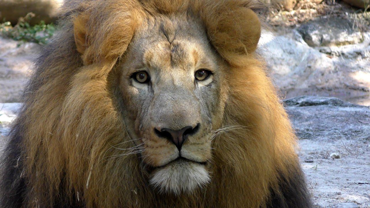 lion movie online