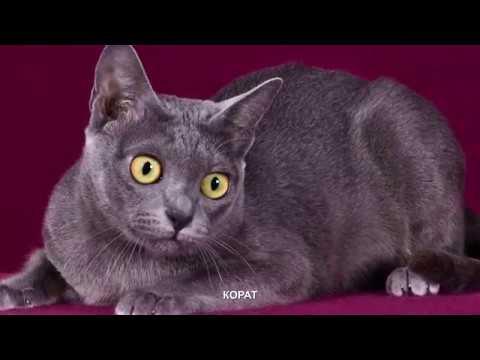 Вопрос: Как звали кота Карла Лагерфельда Какая порода?