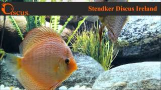 Discus.ie - Stendker Snake Skin Red size from 5 cm up to Jubo(