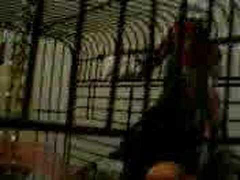 Talking birds on YouTube! - Indian Ringneck Parakeet