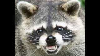 "99 Dead Raccoons: a hilarious retelling of a true ""rabid"" fight"