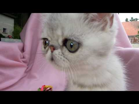 Eucker´s Captain Future, exotic shorthair male at 10 weeks