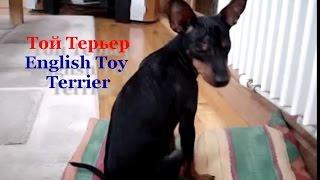 Породы маленьких собак  English Toy Terrier. # Английский той терьер.