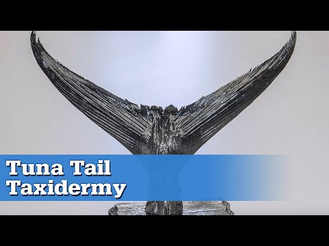 How To: Tuna Tail Taxidermy At Home