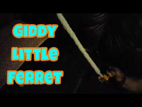 Giddy Little Ferret - Our Other Adorable Pets 2 - VOL. 36