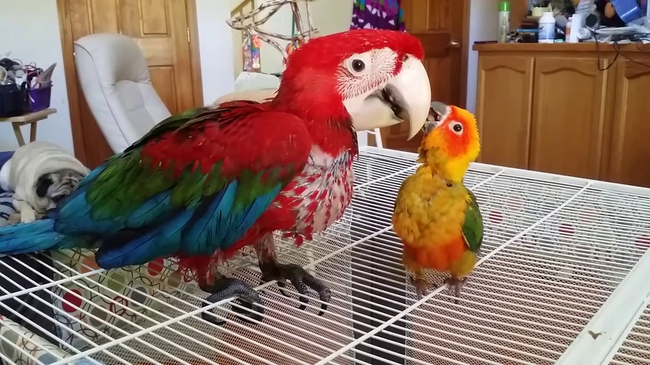 Cute Baby Live Wallpaper Hand Fed Baby Sun Conure Adopts Handed Baby Macaw Youtube