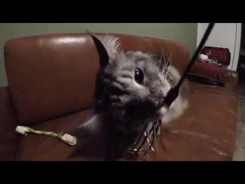 BIG Maine Coon CAT is going CRAZY !!!