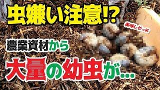 Gambar cover 【グロ注意!】【無農薬レタス栽培#3】宍道湖でとれるアレから大量のカブトムシが!!