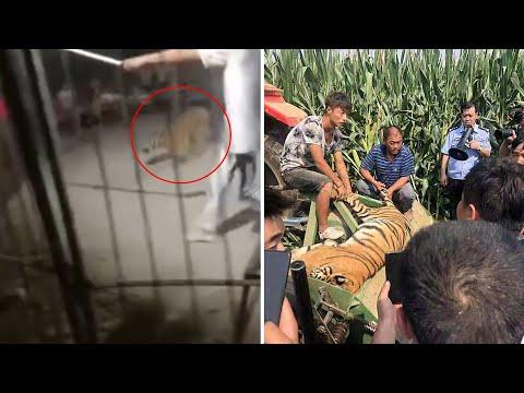 Harimau kabur dari sirkus, mati tertabrak mobil; darah pria berubah jadi putih, kenapa? - TomoNews