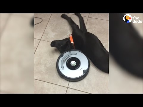 Laziest Dog vs Roomba | The Dodo