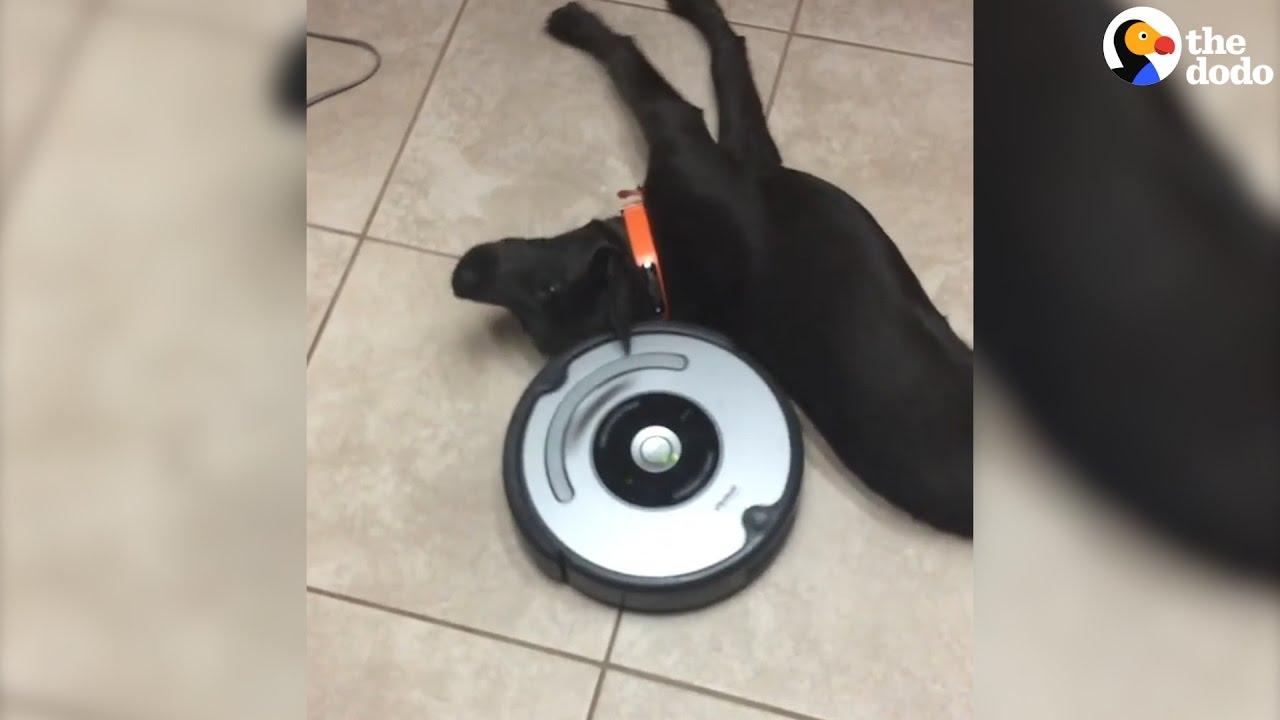 Laziest Dog vs Roomba   The Dodo - YouTube