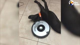 Laziest Dog vs Roomba   The Dodo