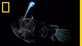 チョウチンアンコウが光る仕組み |ナショジオ