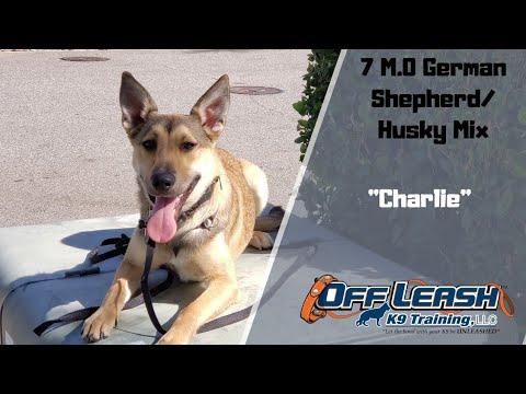german-shepherd-mix-/-dog-training