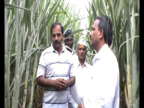 sugarcane marathi