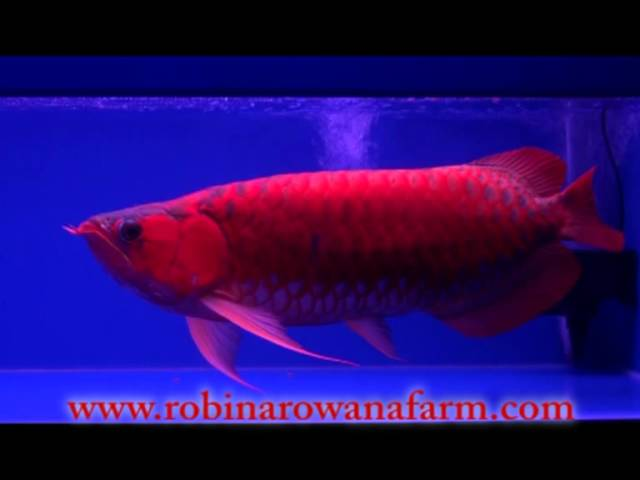 INDONESIAN RED AROWANA 60cm (1) By ROBIN AROWANA FARM