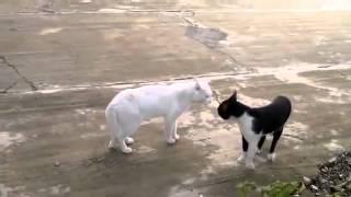 Кот против кота. Белый против чёрно-белого.