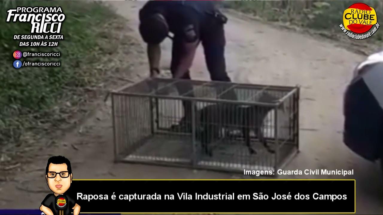 Raposa é capturada na Vila Industrial em São José dos Campos