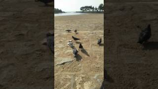 最初に右端にいるのがコボちゃんです! ほぼ毎日近くの公園に食パンと米を持って行き運動させてます!野生の鳩さんたちの成長も見れて楽しい...