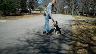 Bella | Redeeming Dogs | Fort Worth Dog Training