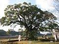 全国5位 樹齢3千年 川古の大楠 アクセス・駐車場ほか Camphor tree of 3000 years old