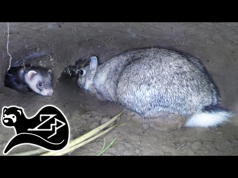 The Working Ferret - Down The Rabbit Hole