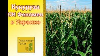 Кукуруза СИ Феномен в Украине