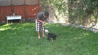 Dog Training: Beginning Basic Obedience With American Bulldog Puppy