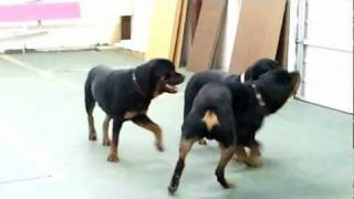 Emmy, Epic & Relic @play ~ Apha & Omega Rottweilers