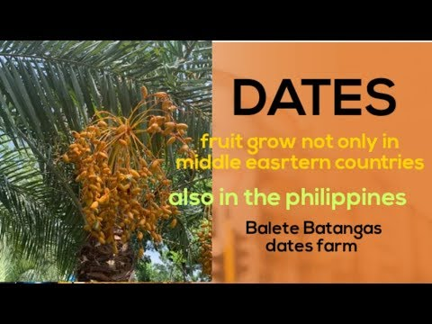 Dates fruit also in the Philippines