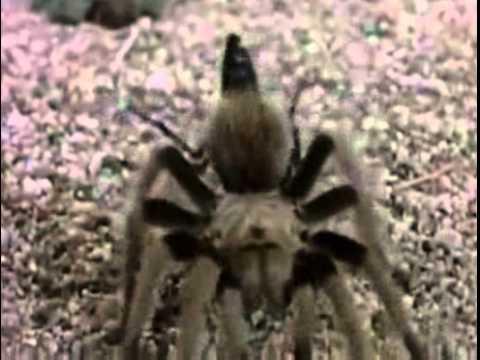 Tarantula Vs Wasp Comeback Fight