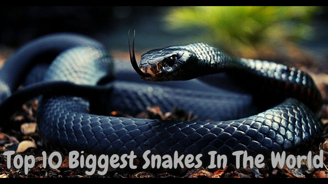 Download Top 10 biggest snakes ever found in the world