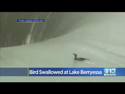 Bird Swallowed At Lake Berryessa Is OK