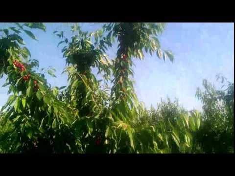 Саженцы плодовых деревьев   Agro-market.net - YouTube