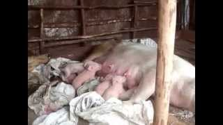 one day old piglets and mother in pamoja farm in kenya