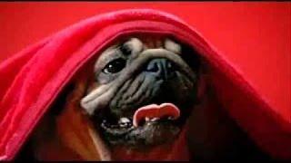 США Наполеон-поросёнок ест арбуз! Pug and watermelon.