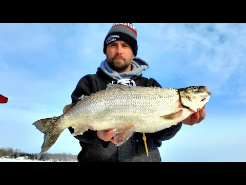 I Almost Broke A State Record With This Tullibee! !!! (Tullibee Ice Fishing)